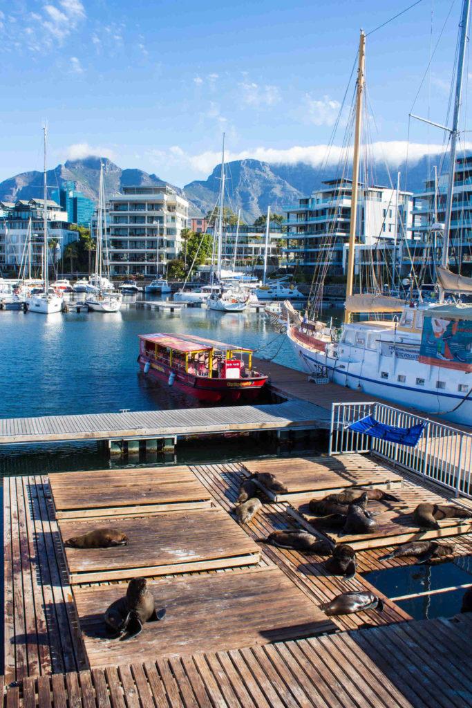 Robben im Hafen von Kapstadt